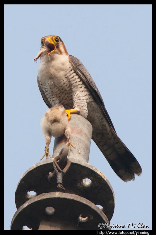 Falconiformes. sub Falconidae - sub fam Falconinae - gênero Falco Image8O6I0102