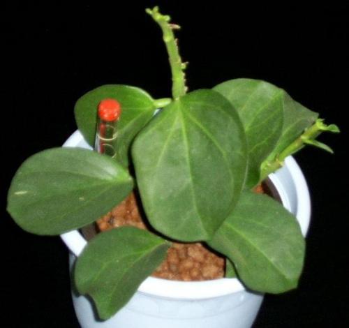 Hoya pachyclada blüht Abe7fb1f4764f931med