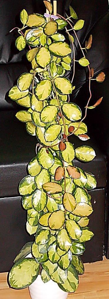 Neueste Errungenschaft,  Hoya australis  ´Lisa´ Af34c9397e947d17