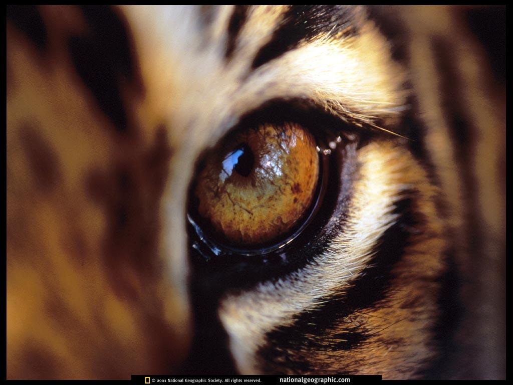 Les figs de Letchaï - Page 2 Tiger-Eye-amur-tigers-27143749-1024-768