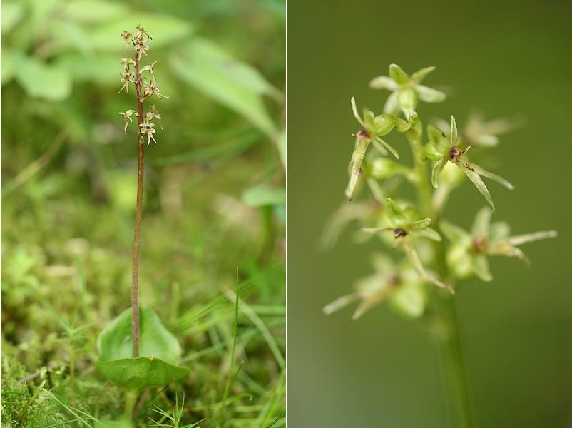Neottia cordata (Listère cordée) Liscor