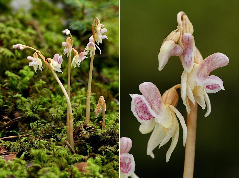 Epipogium aphyllum  ( Epipogon sans feuille ) Epipog1