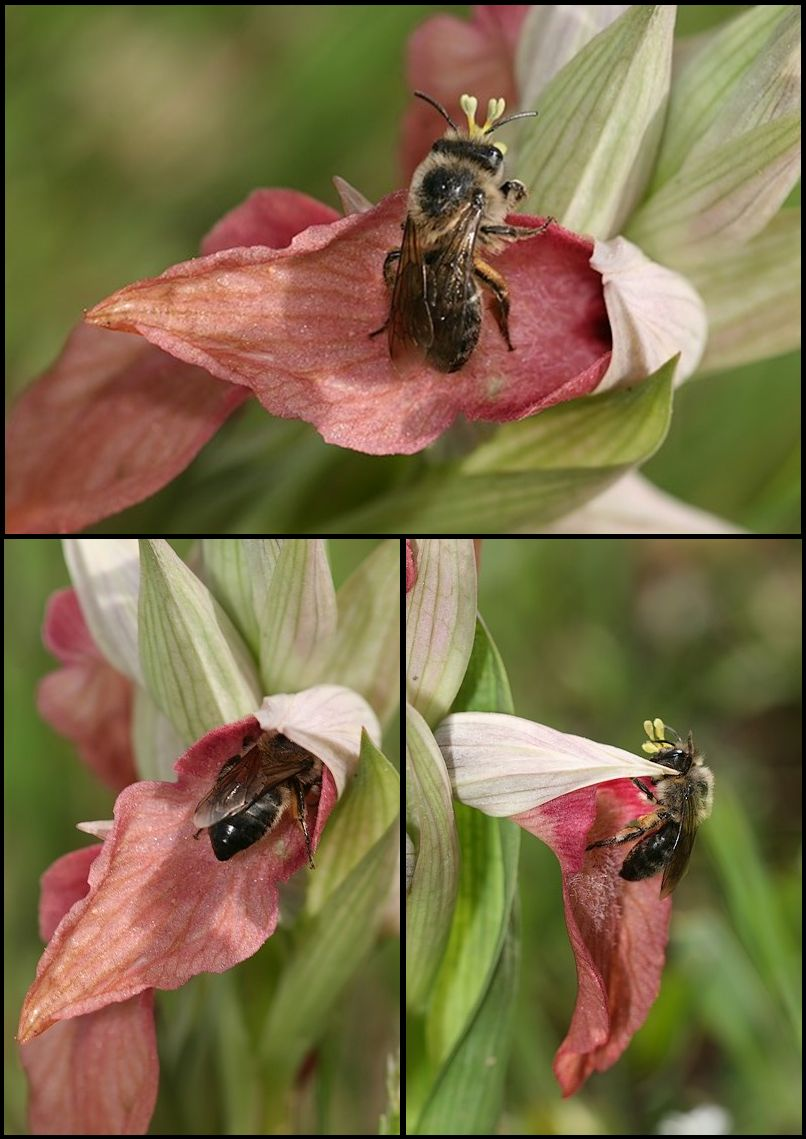 Serapias neglecta ( Sérapias méconnu ) Insecte