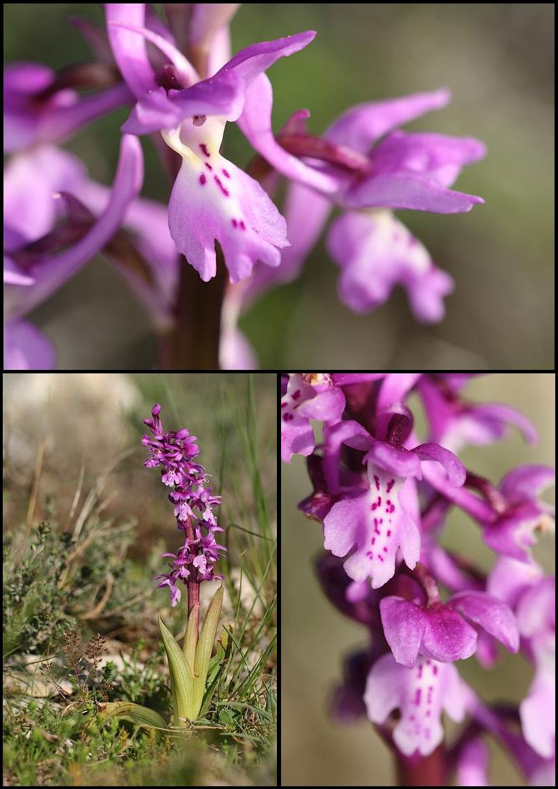 Orchis olbiensis ( Orchis d'Hyères ) Olbiensis1