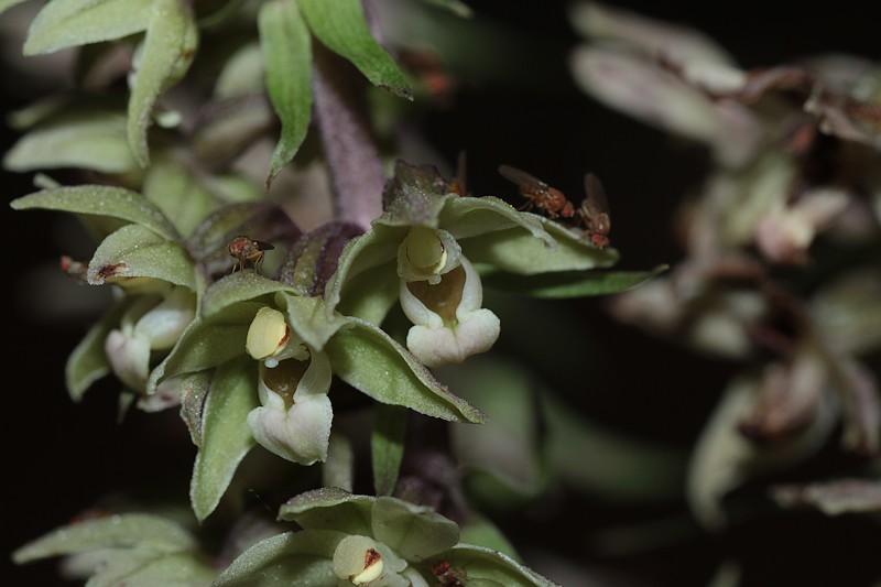 Epipactis purpurata ( Epipactis violacé ) Epipur_8955