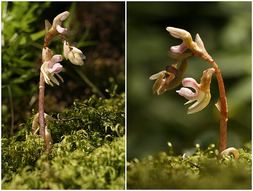 Epipogium aphyllum  ( Epipogon sans feuille ) Epipogon1