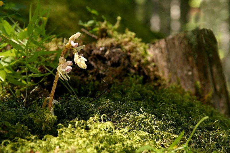 Epipogium aphyllum  ( Epipogon sans feuille ) Epipogon3