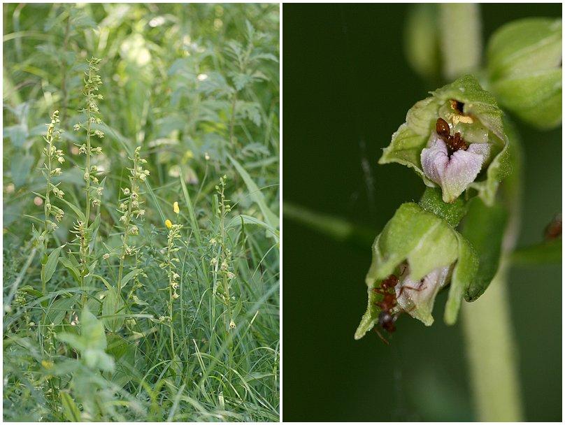 Epipactis rhodanensis ( Epipactis du Rhône ) Rhodenensis1