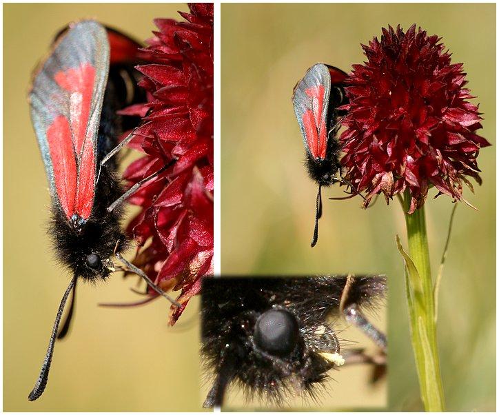 Gymnadenia ( Nigritella ) rhellicani ( N. de Rellikon ) Zygene