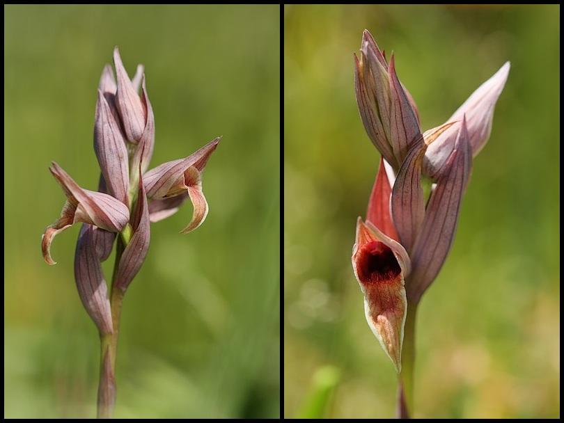 Serapias nurrica ( Sérapias de Nurra ) Nurrica