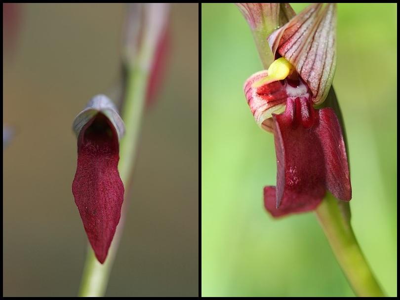 Serapias gregaria/strictiflora ( Sérapias à fleurs raides ) Stricti2