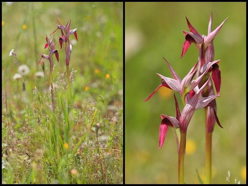 Serapias gregaria/strictiflora ( Sérapias à fleurs raides ) Stricti3