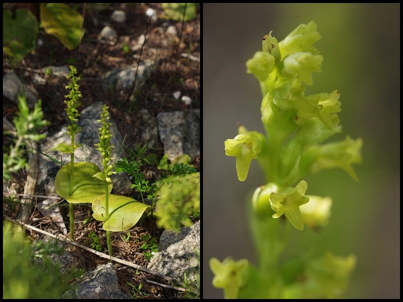Gennaria diphylla ( Gennarie à deux feuilles ) Genaria