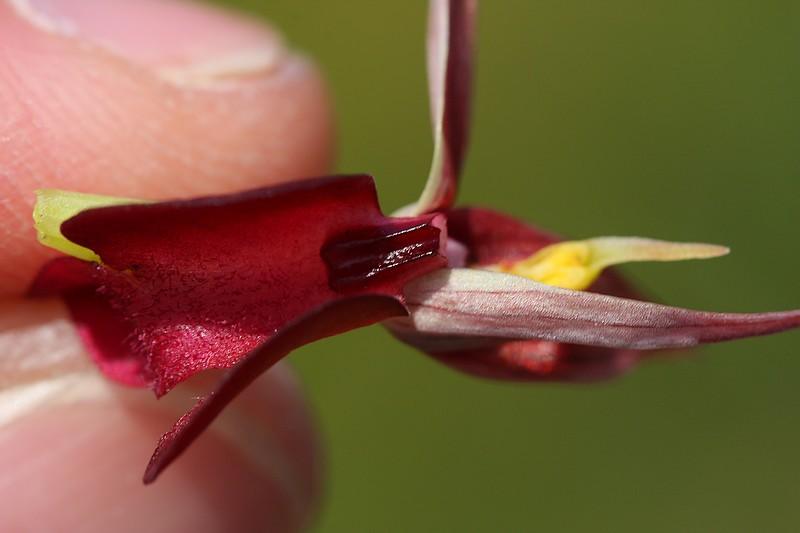 Serapias olbia ( Sérapias de Provence ) IMG_0635