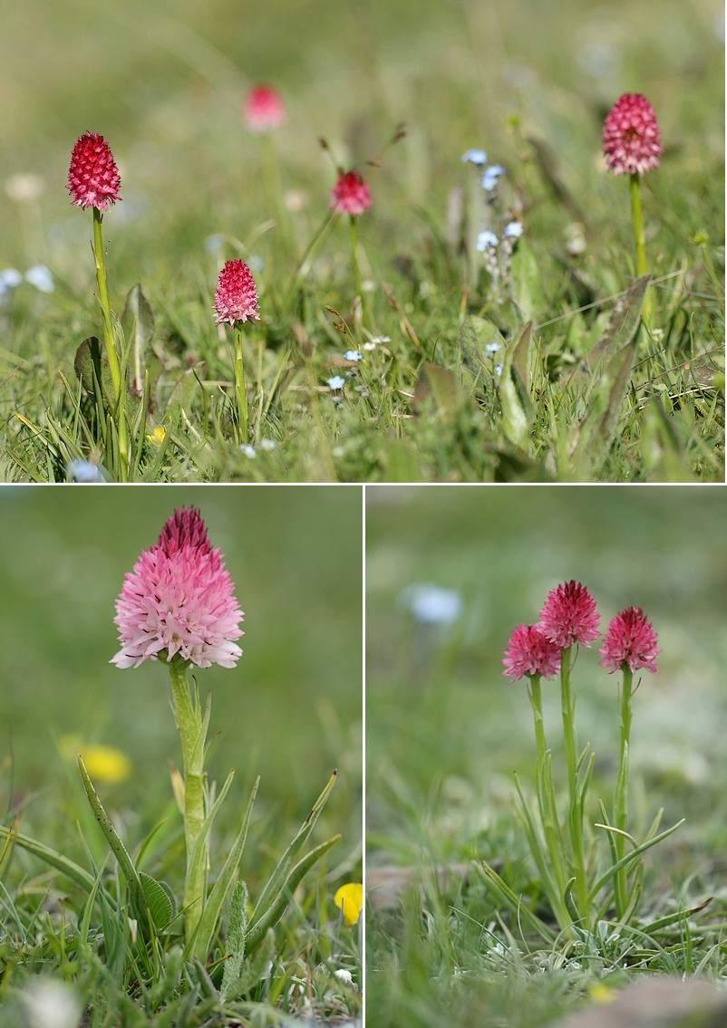 Gymnadenia ( Nigritella ) corneliana ( N.de Cornelia ) Gymcor1