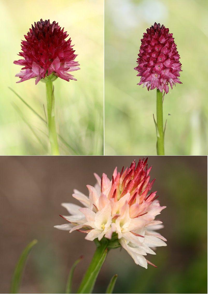 Gymnadenia ( Nigritella ) corneliana ( N.de Cornelia ) Gymcor2