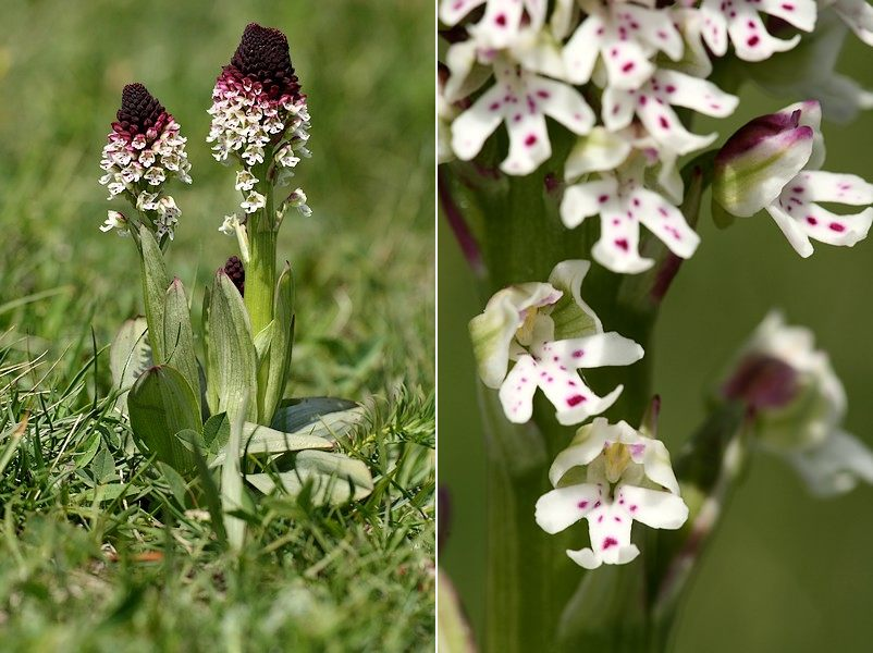 Neotinea ustulata ( Orchis brûlé ) Neoust