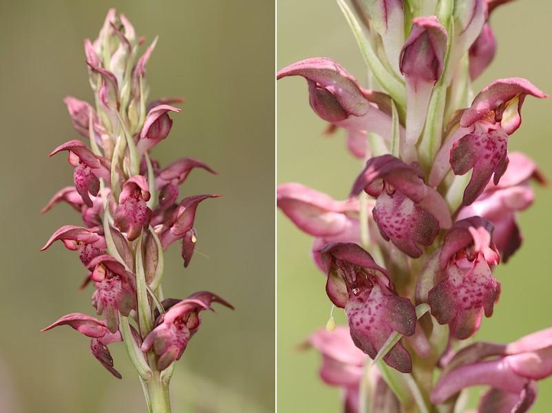 Anacamptis coriophora subsp. fragrans ( Orchis parfumée ) Fragans