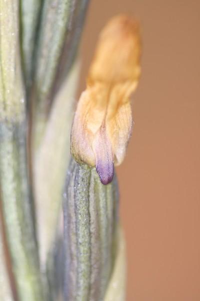 Limodorum trabutianum ( Limodore de Trabut ) IMG_7943