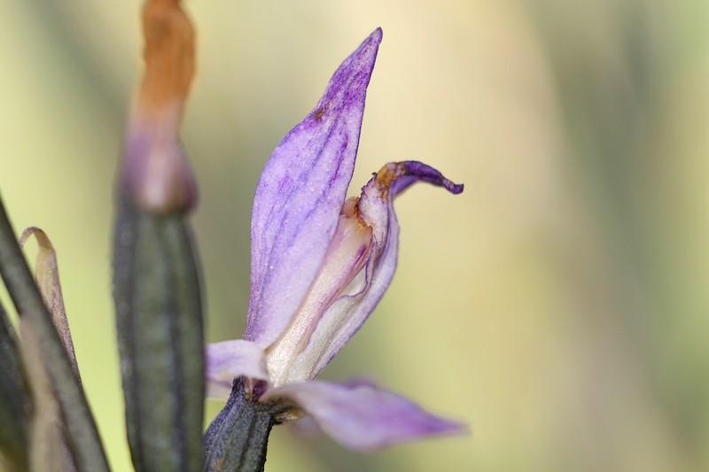 Limodorum trabutianum ( Limodore de Trabut ) IMG_7951
