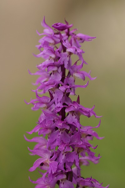 Orchis ovalis ( Orchis superbe ) Ovalis2
