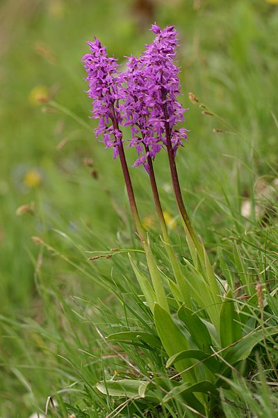 Orchis ovalis ( Orchis superbe ) Ovalis3