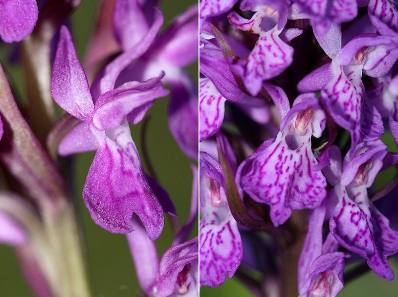 Dactylorhiza angustata ( Orchis du Dauphiné ) Dacang2