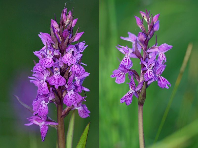 Dactylorhiza angustata ( Orchis du Dauphiné ) Dacang3