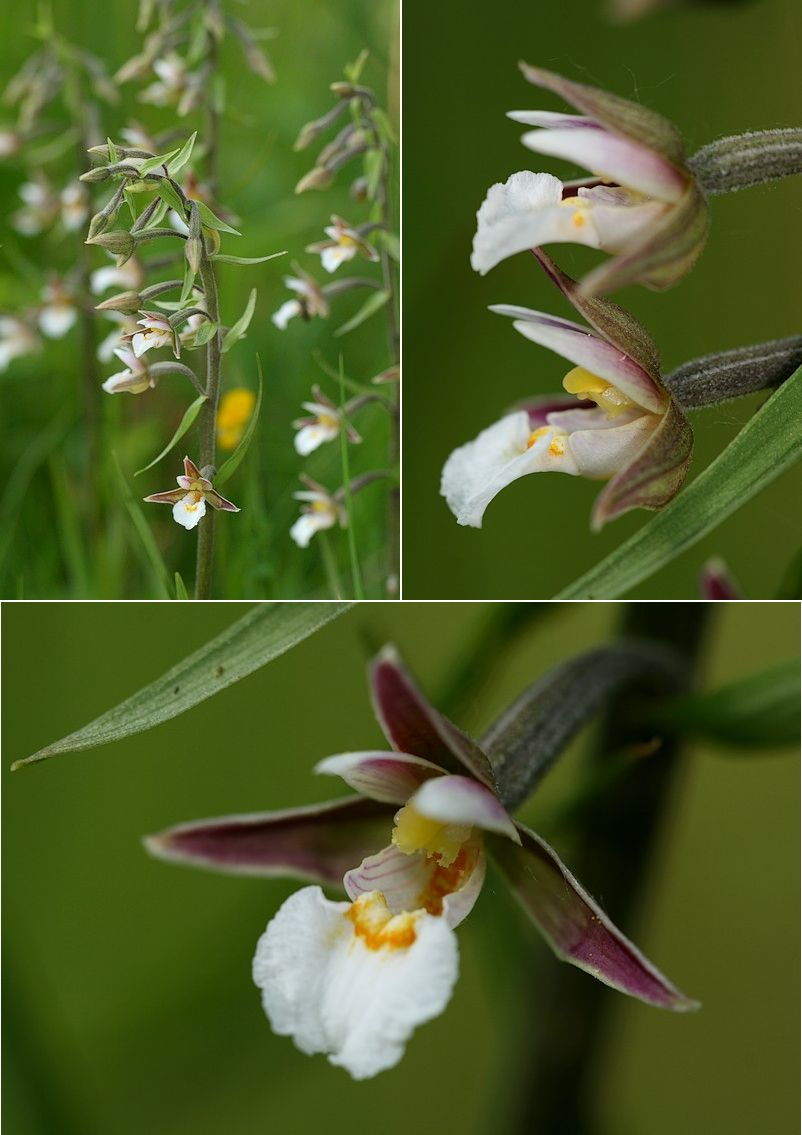 Epipactis palustris ( Epipactis des marais ) Epipal