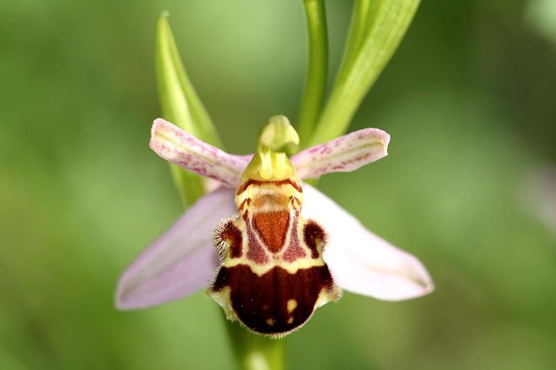 Ophrys apifera et ses variétés IMG_1367