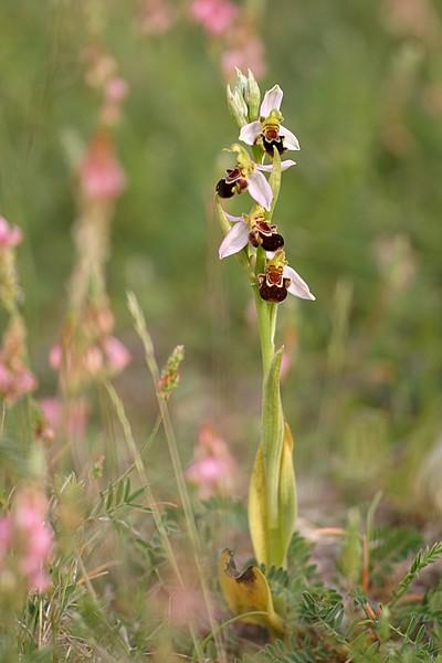 Ophrys apifera et ses variétés IMG_1386