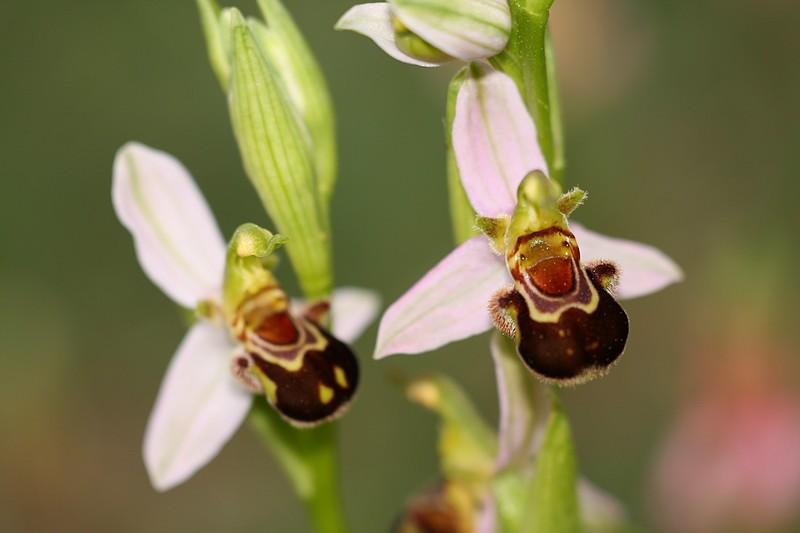 Ophrys apifera et ses variétés IMG_1392
