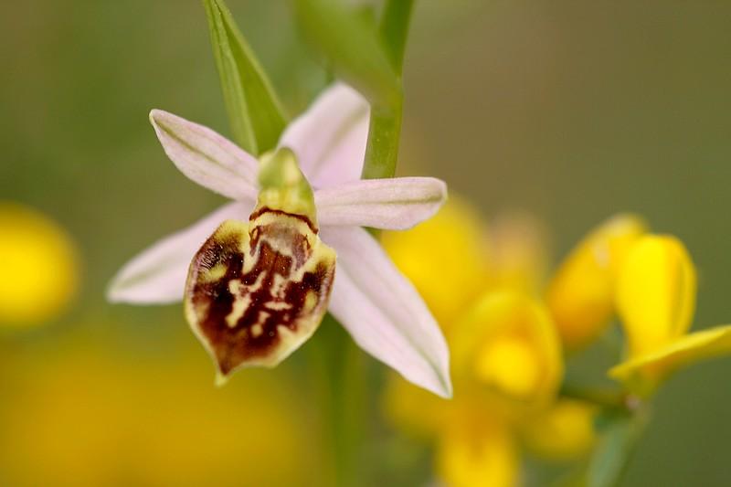 Ophrys apifera et ses variétés IMG_1400