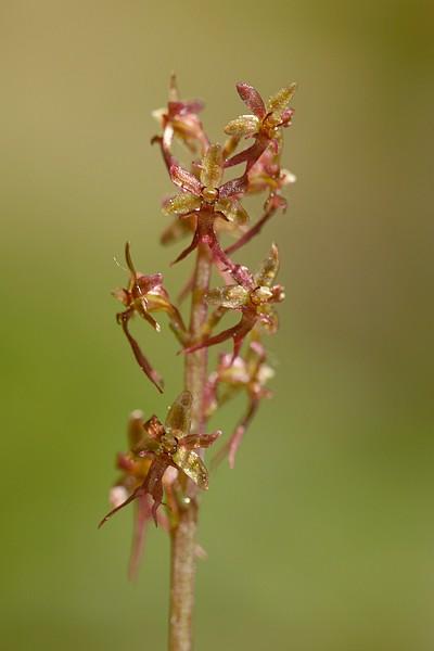 Neottia cordata (Listère cordée) Cordata5098