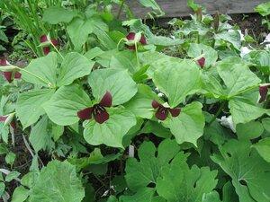Растения для тени или Тенистый сад. 0_b1d8a_fe542d99_M