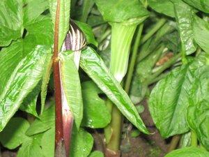 Растения для тени или Тенистый сад. 0_b1e31_85bbfbb_M
