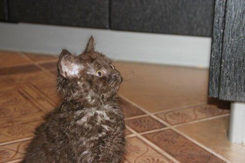 От двух КШ британцев родился кудрявый котенок 0_9191d_926088cc_L