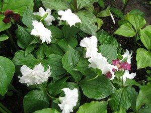 Растения для тени или Тенистый сад. 0_b1ddb_d185ef73_M