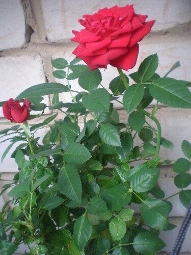 Комнатная роза 0_2e7af_a6acea2d_L