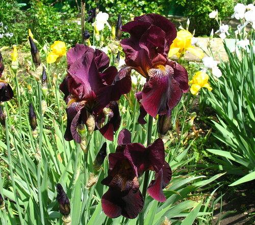 Садовые многолетние цветы - давайте меняться - Страница 2 0_2eefa_d6d7ae6c_L