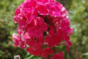 Флоксы, лилии и другие растюхи от amalex 0_657b9_4a2f4e5f_M