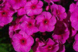 Флоксы, лилии и другие растюхи от amalex 0_64361_99a9d279_M