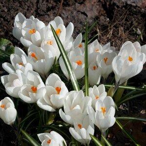 Весенние Луковичные 0_61897_55e4a086_M