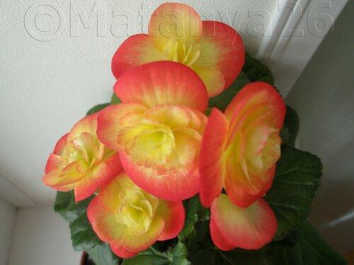 Красивоцветущие бегонии (не клубневые) 0_80c6b_76e402fd_L