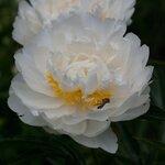 """Календарь цветения пионов в """"Саду Дракона"""" 2011г 0_577ac_86342e7b_S"""