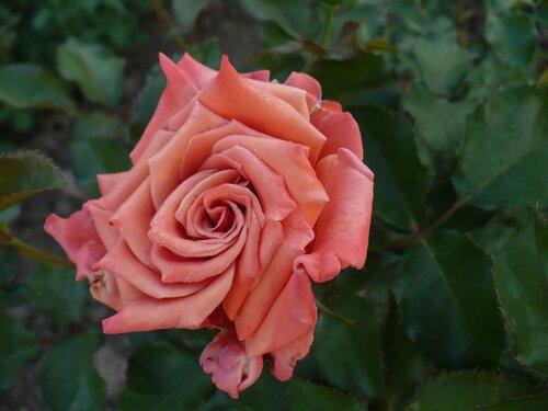 Розы от Naka-Noka 0_65410_7839501d_L
