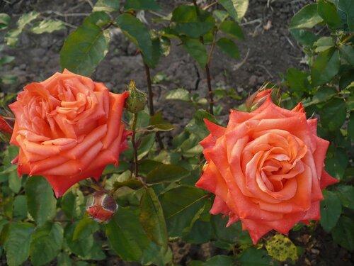 Розы от Naka-Noka 0_65418_812d5314_L