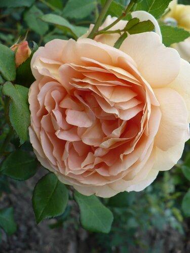 Розы от Naka-Noka 0_65691_b37168ea_L