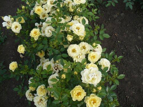 Розы от Naka-Noka 0_65ce4_146de0d2_L