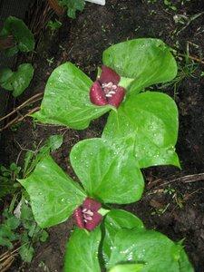 Растения для тени или Тенистый сад. 0_b1dc0_bb5bf478_M